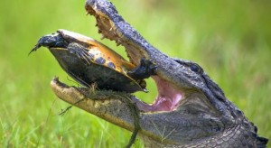 Un Alligator d'Amérique mange une tortue