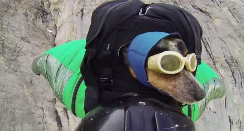 Tranquille, un chien saute d'une falaise en wingsuit