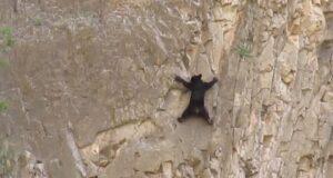 Ours escaladent au texas