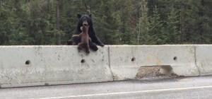 Oursonne sauve petit ourson sur l'autoroute