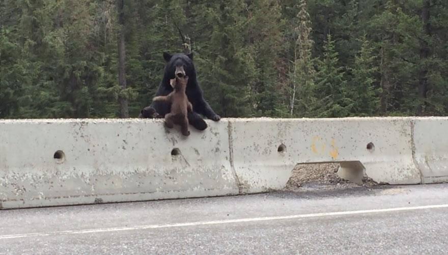 Mignon : une maman sauve son petit ourson sur l'autoroute