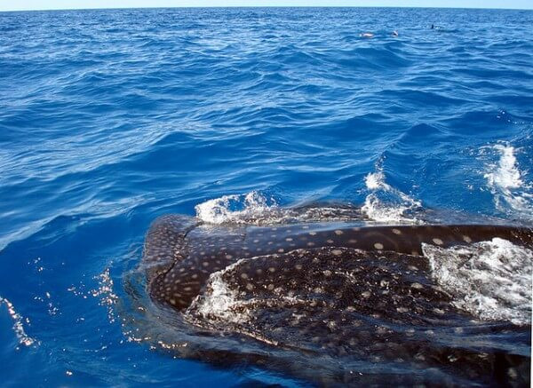 Requin-baleine nager Cancun Mexique
