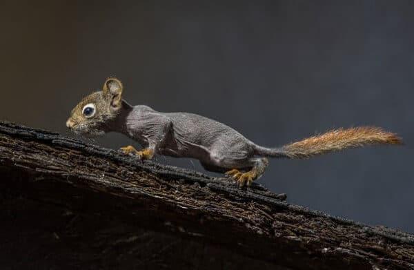 écureuil sans poils