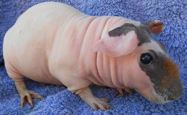 cochon d'inde sans poils