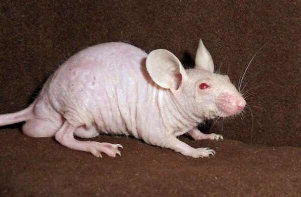 rat sans poils
