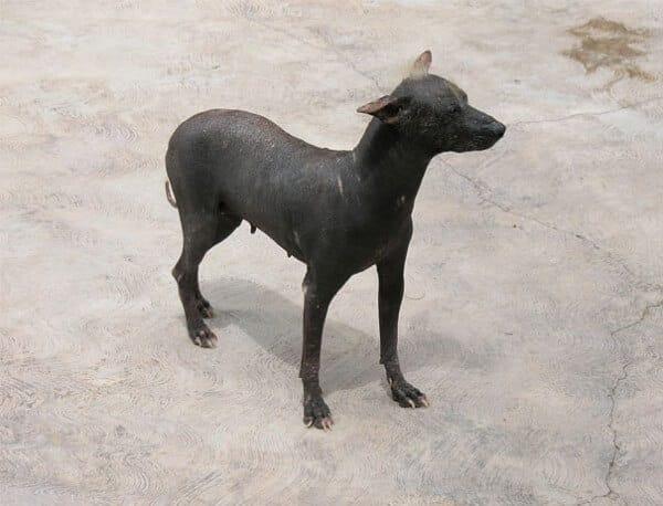 chien sans poils