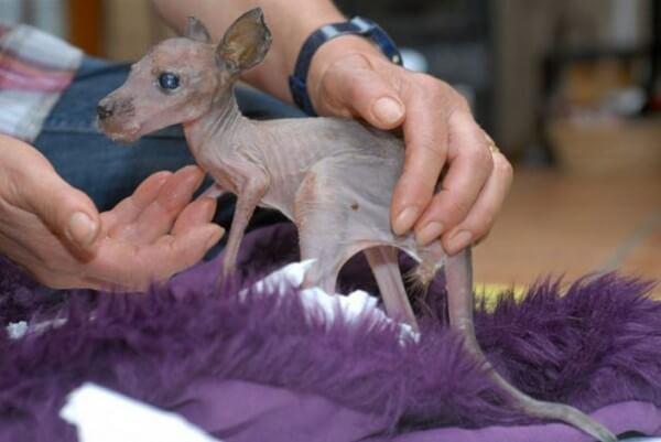 kangourou sans poils