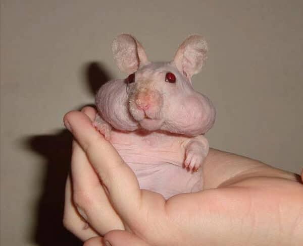 hamster sans poils