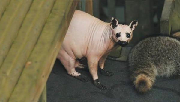 raton laveur sans poils