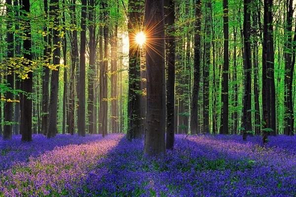 Le mystique Bois de Hal en Belgique