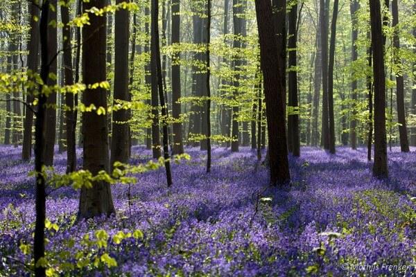 Hallerbos, Bois de hal, jacinthes, Belgique
