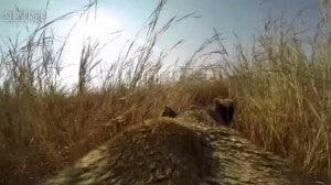 Lionne chasse avec une GoPro sur son dos