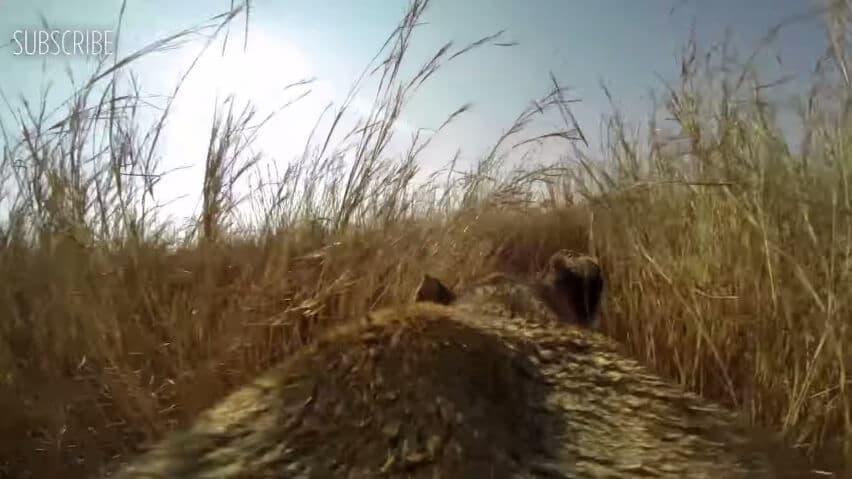 Une lionne chasse avec une camera embarquée