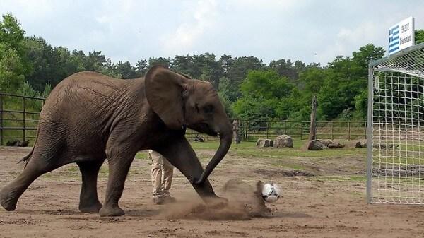 Nelly l'éléphant, pronostics football