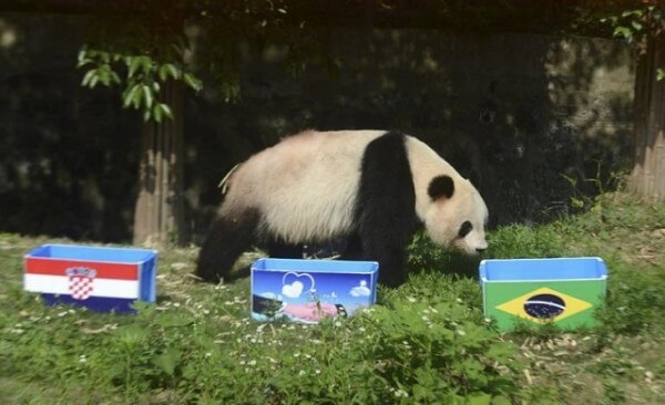 Pandas chinois, pronostics football