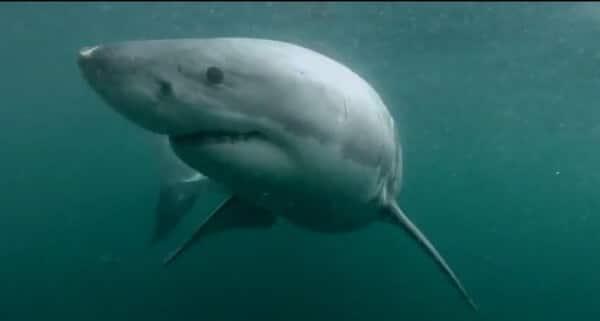 Nez à nez avec un grand requin blanc après avoir plongé d'un rocher