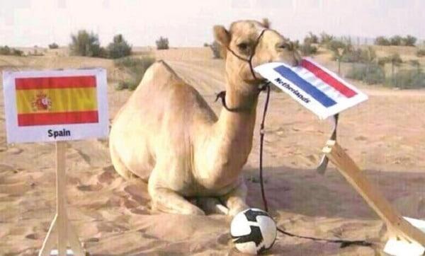 Shaheen le dromadaire, Dubaï, pronostics football