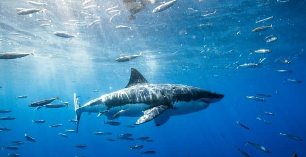 Plongée en cage avec le Grand Requin Blanc au Cap