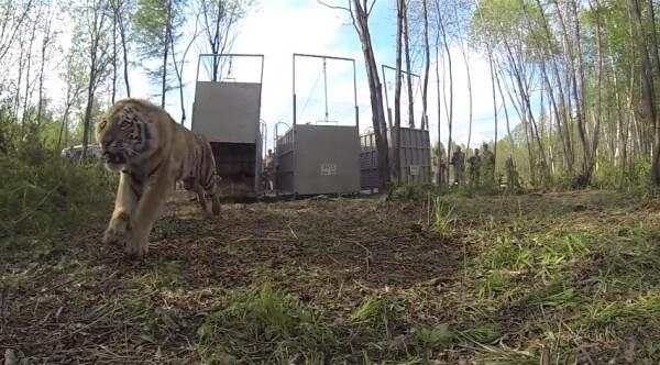 3 tigres de Sibérie sont relâchés dans la nature