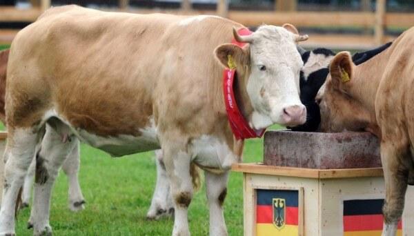 Yvonne la vache, pronostics football