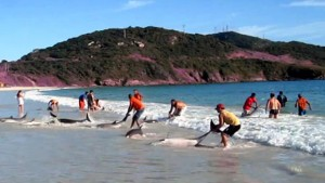 Dauphins échoueés sur une plage du Bresil et sauvés par des vacanciers