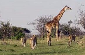 Girafe protège son girafon des lions