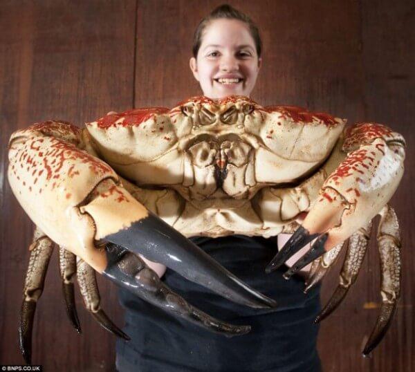 crabe geant tasmanie