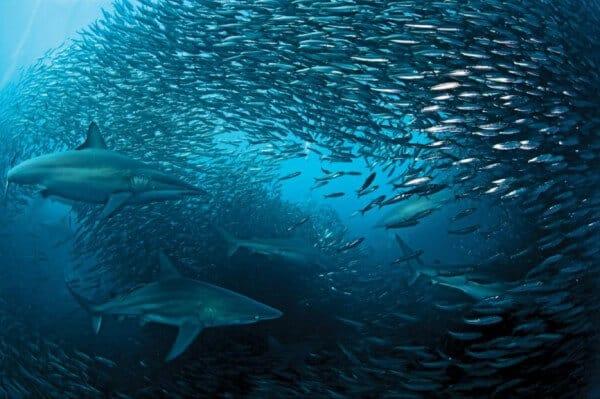 bancs de sardines