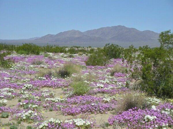 désert en fleur