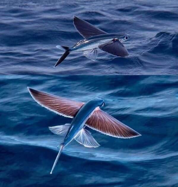 poisson volant