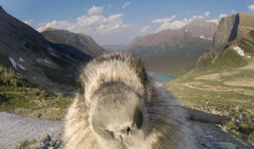 Drôles d'animaux : une marmotte amoureuse d'une Gopro