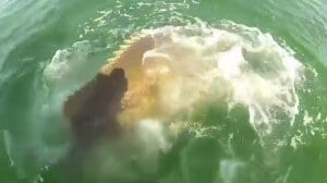 Mérou géant mange requin
