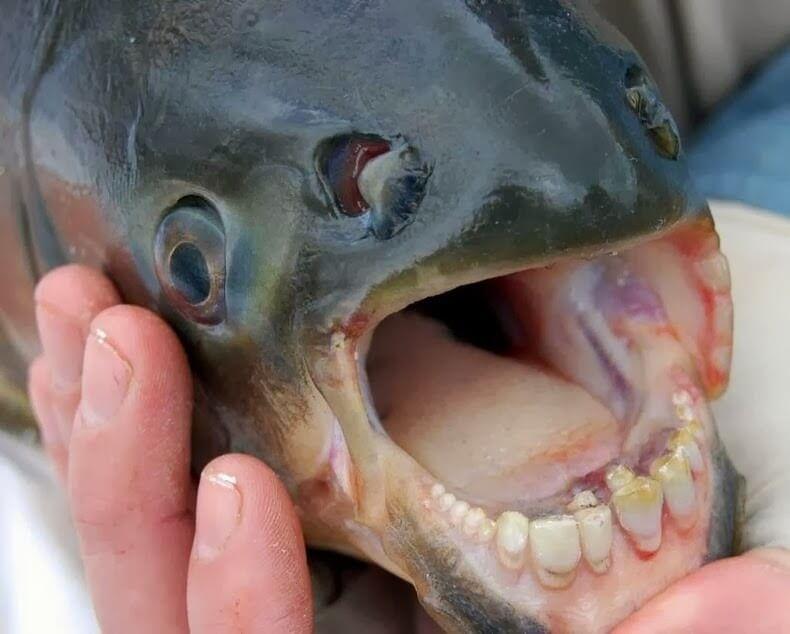 Pacu, poisson mangeur de testicules