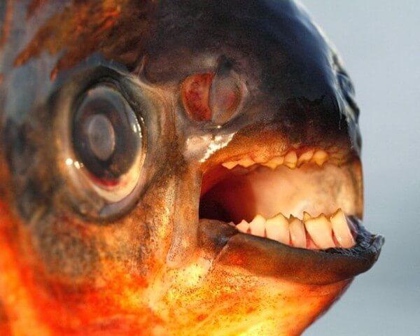 Le Pacu, un poisson avec des dents humaines