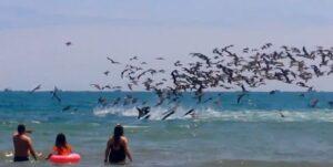 pelicans, Crucita Equateur, pêche