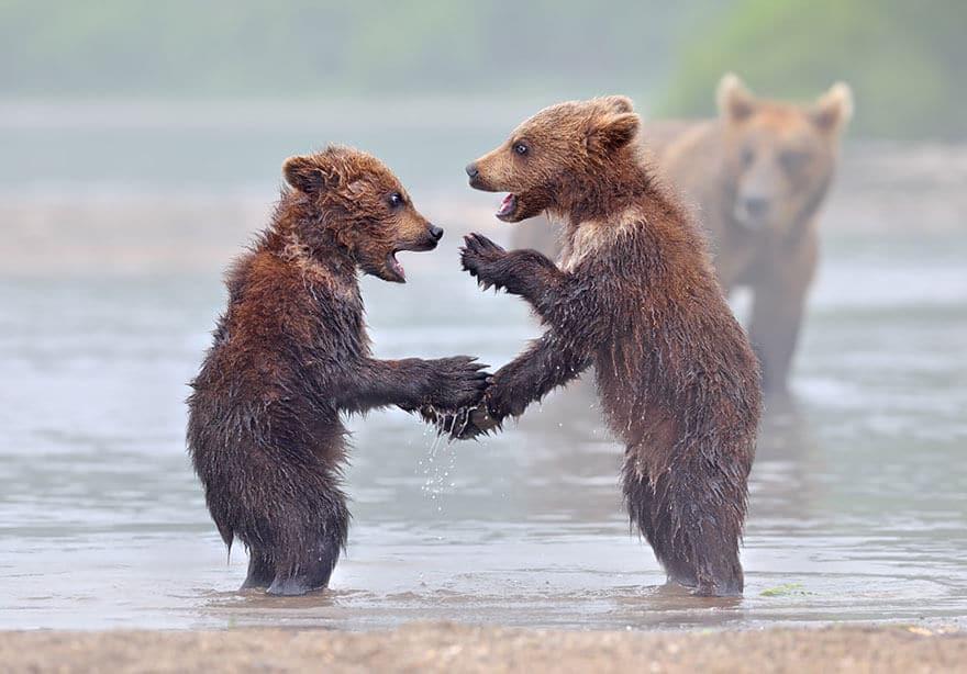 Ces photos d'ours et leurs oursons vont vous faire fondre