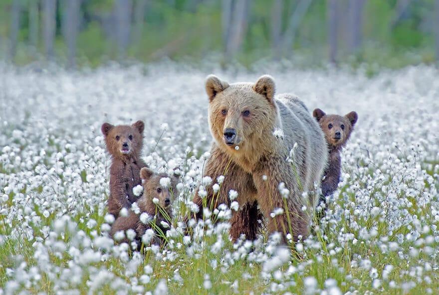 Фото медведь с медвежатами