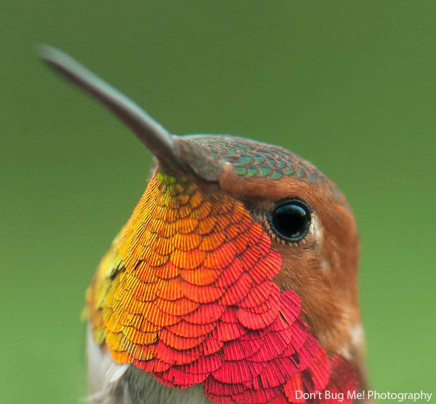 Photo gros plan colibri, superbes couleurs de ce petit oiseau