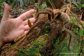 Araignée Goliath, la plus grande et grosse araignée du monde
