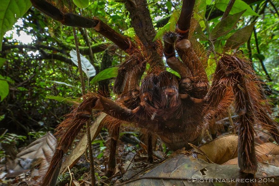 Goliath la plus grosse araign e du monde porte bien son nom - Prenom le plus porte au monde ...