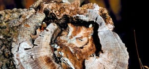15 photos d'hiboux qui maîtrisent l'art du camouflage à merveille
