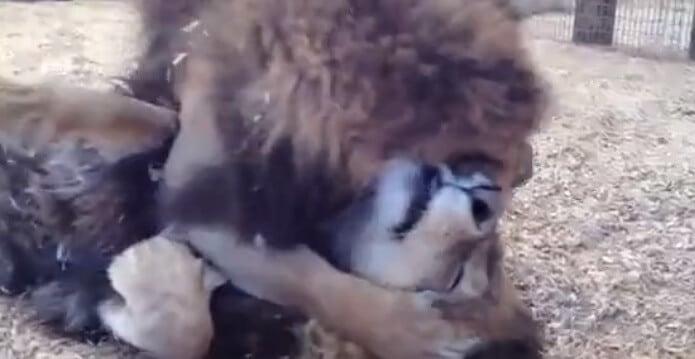 Deux frères lions très câlins…