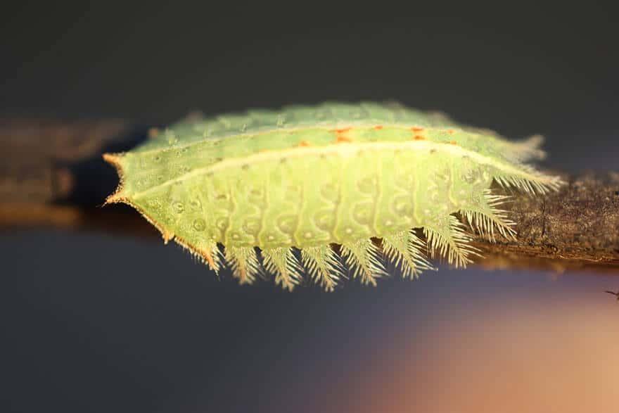Suberpes photos de la transformation de chenilles en papillons