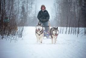 Traîneau à chiens, Canada, chiens de traineaux