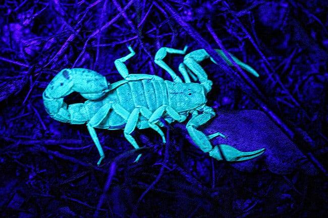 Scorpion phosphorescent lumière de la lune