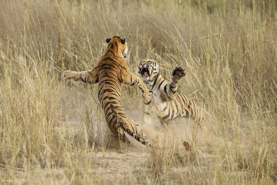 Combat de savane