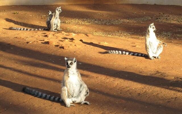 Lemur Catta Madagascar