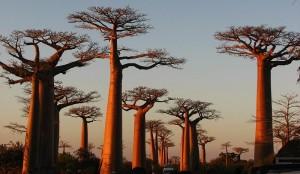 Avenue de baobabs Madagascar