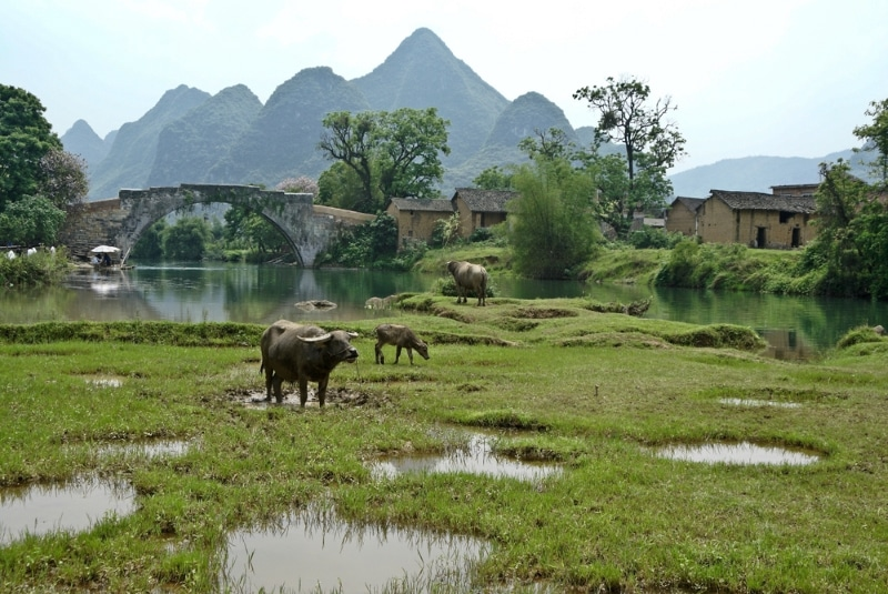 Guilin Yulong buffles