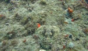 Pieuvre camouflée, Caraïbes